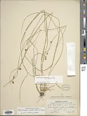 view Rhynchospora cephalantha A. Gray digital asset number 1