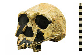 view KNM-ER 3733, Early Human, Fossil Hominid digital asset number 1