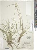 view Rhynchospora ciliata (G. Mey.) Kük. digital asset number 1
