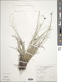 view Fimbristylis cymosa R. Br. digital asset number 1
