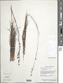 view Rhynchospora maguireana T. Koyama digital asset number 1