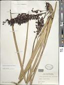 view Machaerina angustifolia (Gaudich.) T. Koyama digital asset number 1