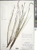 view Lagenocarpus rigidus subsp. tenuifolius (Kunth) Nees digital asset number 1