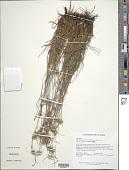 view Rhynchospora pubera (Vahl) Boeckeler subsp. pubera digital asset number 1
