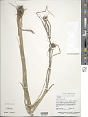 view Rhynchospora amazonica Poepp. & Kunth subsp. amazonica digital asset number 1