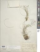 view Eleocharis geniculata (L.) Roem. & Schult. digital asset number 1