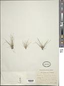 view Eleocharis nigrescens (Nees) Steud. digital asset number 1