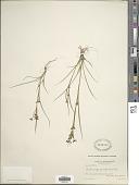 view Rhynchospora scirpoides (Torr.) Griseb. digital asset number 1