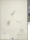 view Eleocharis capillacea Kunth digital asset number 1