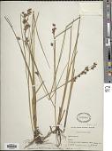 view Cladium mariscoides (Muhl.) Torr. digital asset number 1
