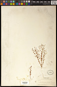 view Euphorbia radioloides Boiss. digital asset number 1