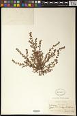 view Euphorbia thymifolia L. digital asset number 1