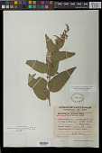 view Andeimalva machupicchensis (Krapov.) J. A. Tate digital asset number 1