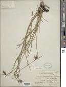view Scleria stereorrhiza C. Wright ex C.B. Clarke var. stereorrhiza digital asset number 1