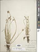 view Carex longii Mack. digital asset number 1
