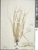 view Carex globosa Boott digital asset number 1