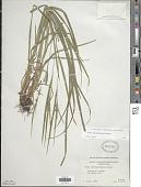 view Carex hitchcockiana Dewey digital asset number 1