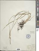 view Carex emoryi Dewey digital asset number 1
