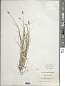 view Carex leavenworthii Dewey digital asset number 1