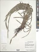 view Calyptrocarya glomerulata (Brongn.) Urb. digital asset number 1