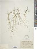view Carex disperma Dewey digital asset number 1