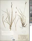 view Carex concolor R. Br. digital asset number 1