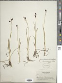 view Carex montanensis L.H. Bailey digital asset number 1