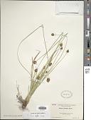 view Carex abrupta Mack. digital asset number 1