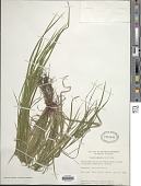 view Carex intumescens Rudge digital asset number 1