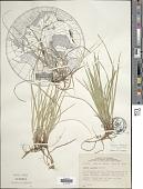 view Carex lucorum digital asset number 1