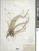 view Carex emmonsii var. muhlenbergii (A. Gray ex Torr.) Rettig digital asset number 1