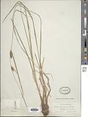 view Carex lanuginosa Michx. digital asset number 1