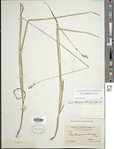 view Carex leptopoda Mack. digital asset number 1