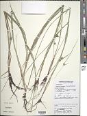 view Diplacrum capitatum (Willd.) Boeckeler digital asset number 1