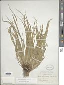 view Carex abscondita Mack. digital asset number 1