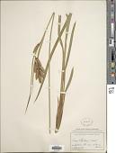 view Carex mertensii Prescott ex Bong. digital asset number 1