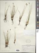 view Carex elynoides Holm digital asset number 1