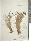 view Carex bipartita digital asset number 1