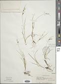 view Carex aurea Nutt. digital asset number 1