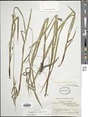view Carex gynandra Schwein. digital asset number 1