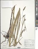 view Scleria melanomphala Kunth digital asset number 1