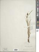 view Carex gmelinii Hook. & Arn. digital asset number 1