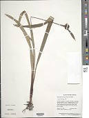 view Bisboeckelera irrigua (Nees) Kuntze digital asset number 1