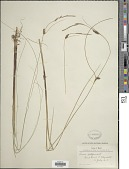 view Carex lasiocarpa Ehrh. digital asset number 1