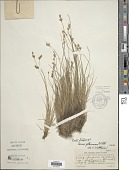 view Carex glareosa Wahlenb. digital asset number 1