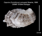 view Capulus (Cyclothyca) corrugata Stearns, 1890 digital asset number 1