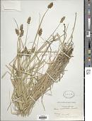 view Carex cristatella Britton digital asset number 1
