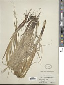 view Carex atherodes Spreng. digital asset number 1