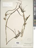 view Carex gigantea Rudge digital asset number 1