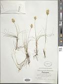 view Carex douglasii Boott digital asset number 1